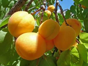 Плоды_абрикоса